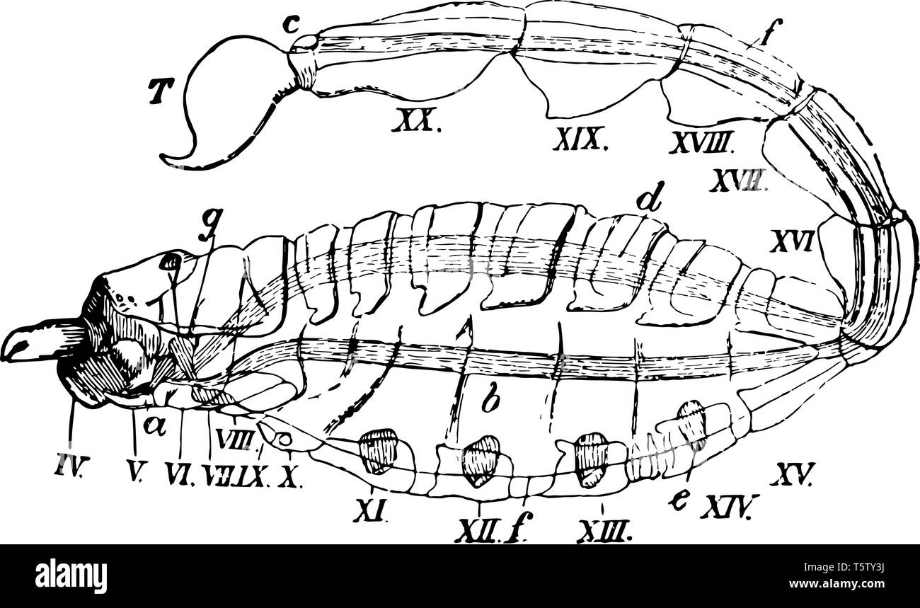 hight resolution of scorpion diagram represents fourth to twentieth somite basis of the pedipalpi or great claws vintage line