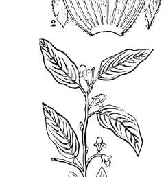 a diagram of aquilaria agallochum plant showing a flower the same split open and a section of the ovary vintage line drawing or engraving illustration [ 581 x 1390 Pixel ]
