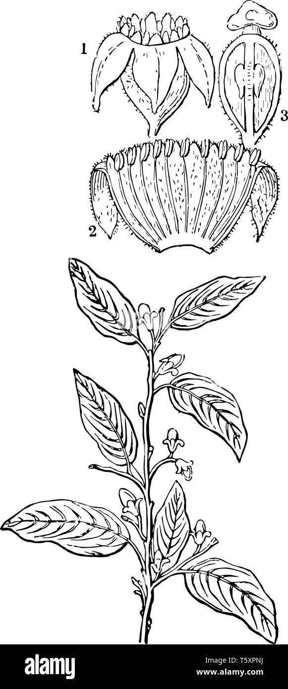 hight resolution of a diagram of aquilaria agallochum plant showing a flower the same split open and a section of the ovary vintage line drawing or engraving illustration