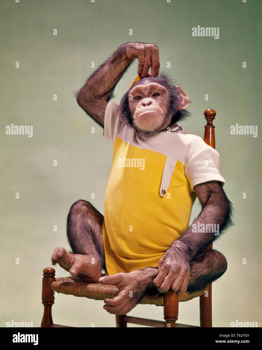 chimpanzee monkey clothes stock