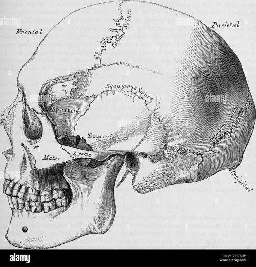 small resolution of black and white print of a human skull in profile with labeled cranial bones illustrated by henry vandyke carter and published in henry gray s medical