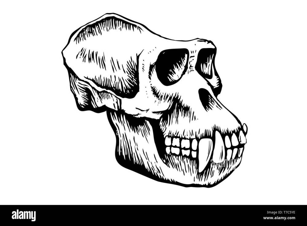 medium resolution of gorilla monkey skull hand drawn sketch isolated on white background illustration stock