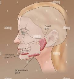 illustration showing the location of the salivary glands in a female profile stock image [ 1130 x 1390 Pixel ]