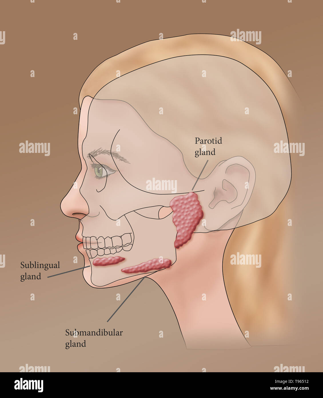 hight resolution of illustration showing the location of the salivary glands in a female profile stock image