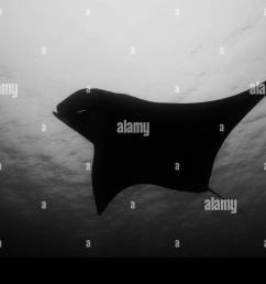 oceanic manta ray flying around a cleaning station in cristal blue water stock image [ 1300 x 956 Pixel ]