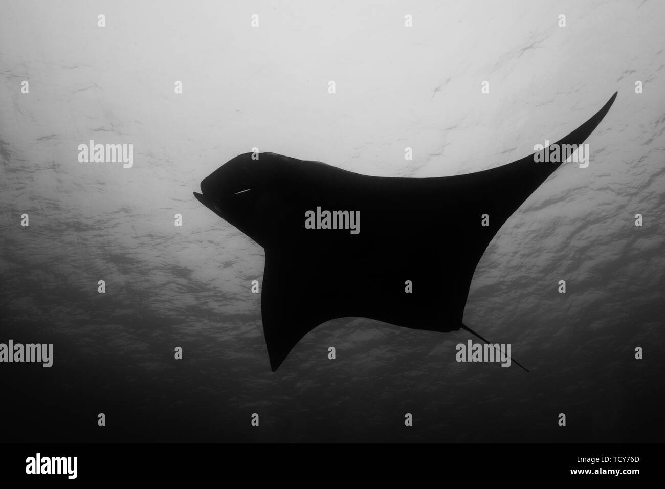 hight resolution of oceanic manta ray flying around a cleaning station in cristal blue water stock image
