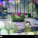Cup And Saucer Plant High Resolution Stock Photography And Images Alamy