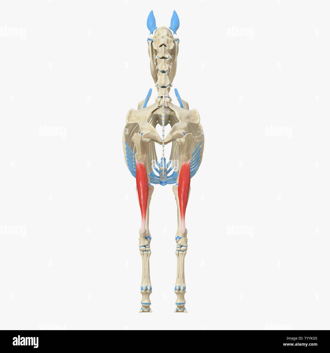 hight resolution of 3d rendered medically accurate illustration of the equine muscle anatomy gastrocnemius