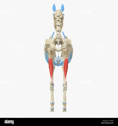 small resolution of 3d rendered medically accurate illustration of the equine muscle anatomy gastrocnemius