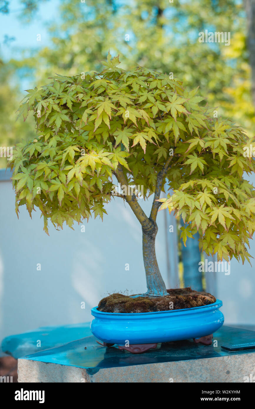 Blue Maple Bonsai Tree : maple, bonsai, Japanese, Maple, Bonsai, Gardens, Frederik, Meijer, Stock, Photo, Alamy