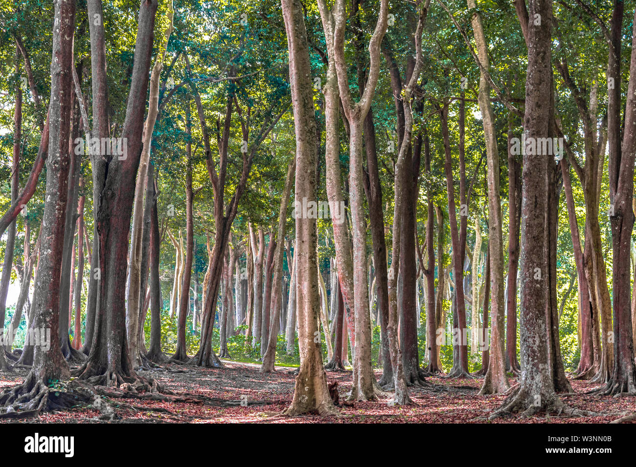 One smile can begin a friendship; Tropical Evergreen Forest With Tall Trees On Autumn Season The Fallen Leaves Are Decomposing And Has Covered All Ground Giving It Dreamy Red Color Stock Photo Alamy