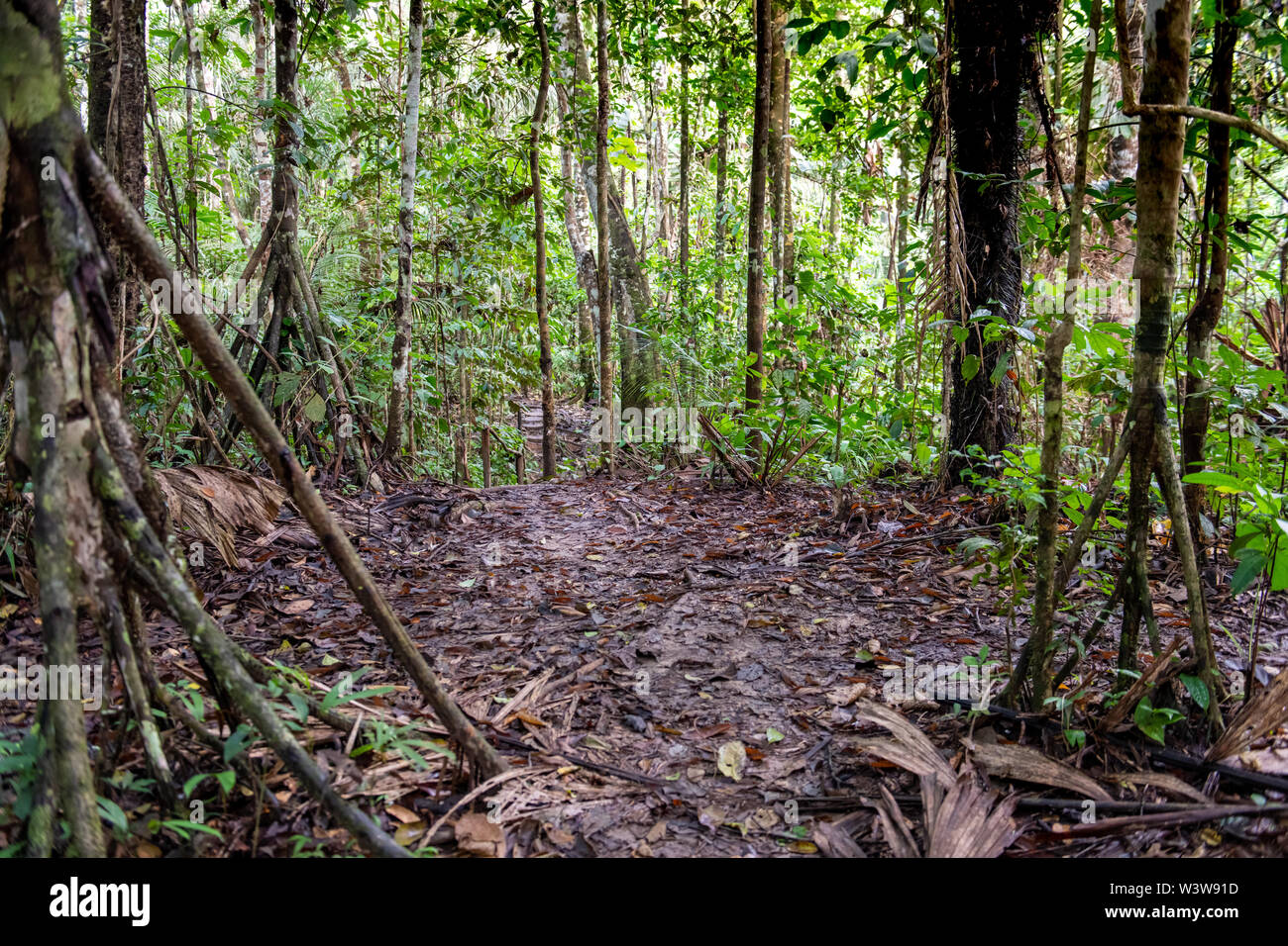 Dey 1 and gopal shukla 3 1department of forestry 2pomology & Equatorial Forest High Resolution Stock Photography And Images Alamy