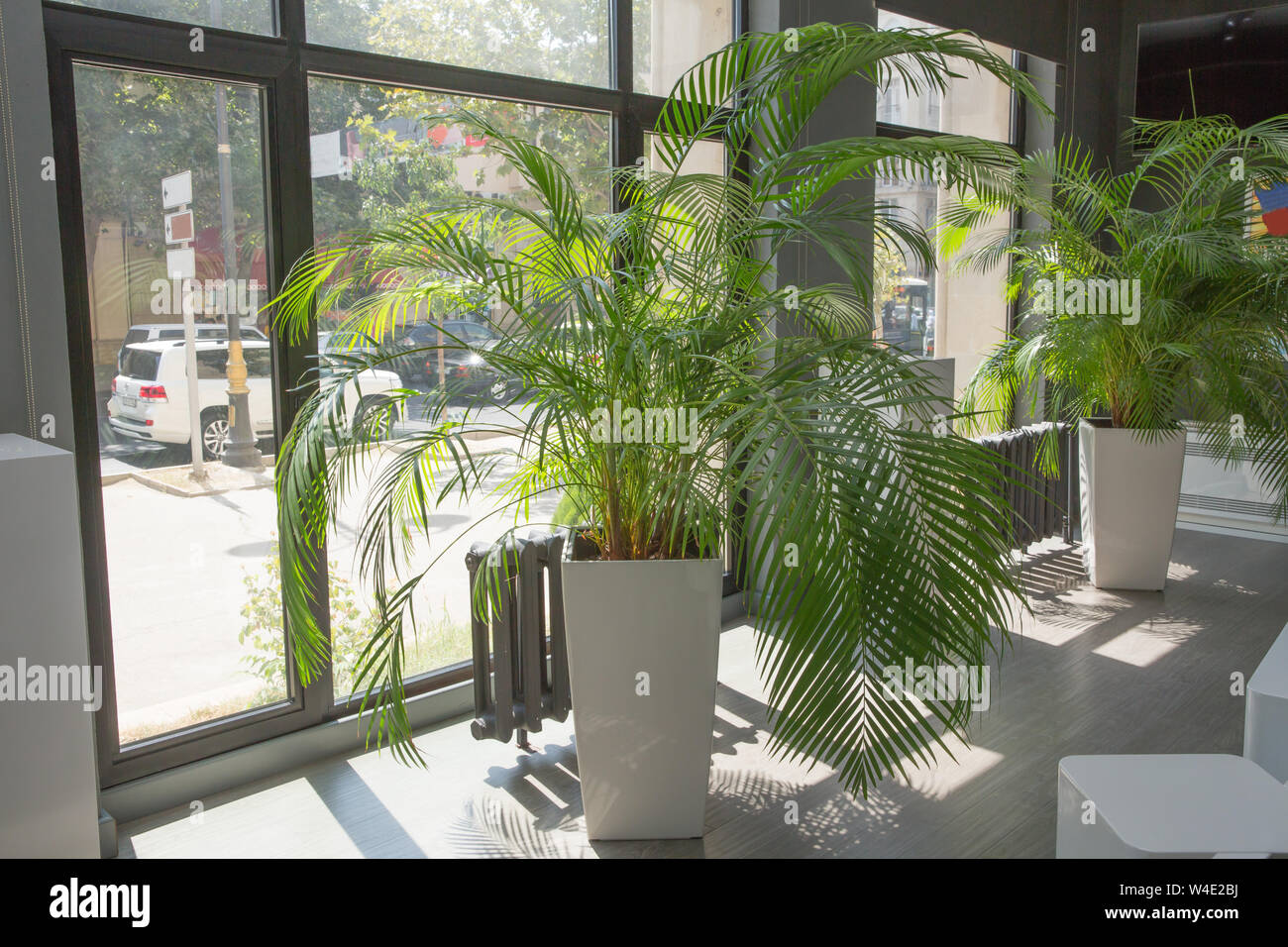 Indoor Flower Pots Plants Large Vases In A Row Green Plant Pot Next The Window In The Morning Decorative Areca Palm Stock Photo Alamy