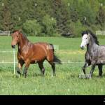 Two Amazing Horses Running In Fresh Grass On Pasturage Stock Photo Alamy