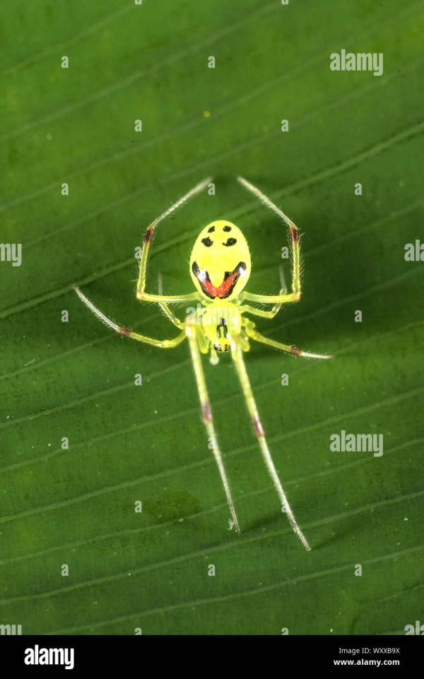 happy face spider  # 53