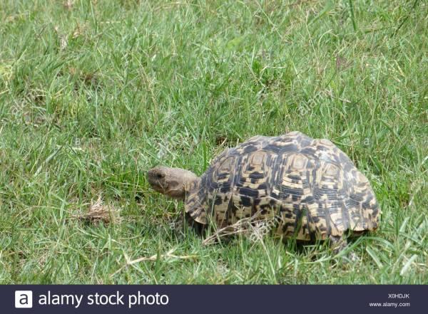 Leopard Tortoise Botswana Stock &