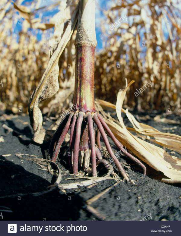 Prop Roots On Corn Plant