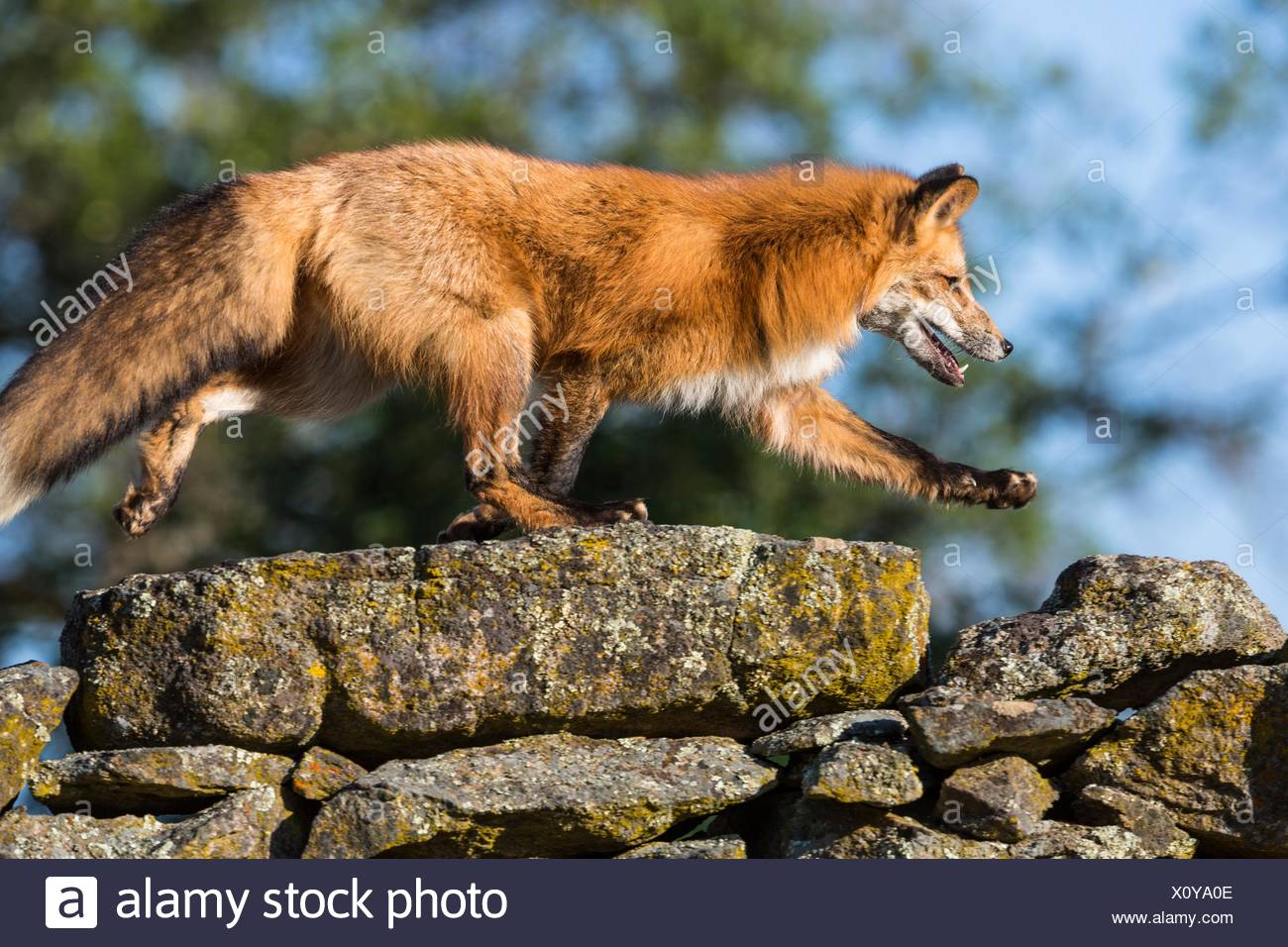 Red Fox Designed In Usa