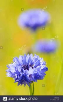 Cornflower Centaurea Cyanus Herb Stock &