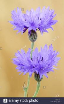 Estonia National Flower Stock &
