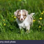 Miniature American Shepherd Or Miniature Australian Shepherd Or Mini Aussie Puppy Red Merle In Flower Meadow Stock Photo Alamy