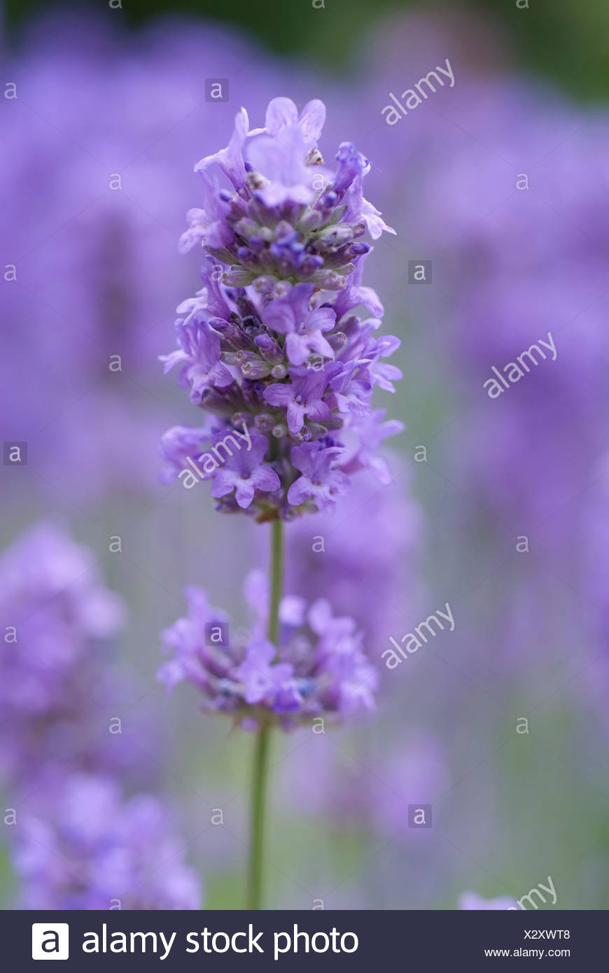 National Flower Of Portugal : national, flower, portugal, Lavandula, Angustifolia,, Lavender,, Single, Purple, Flower, Spike, Isolated, Shallow, Focus, Against, Other, Lavender, Stock, Photo, Alamy