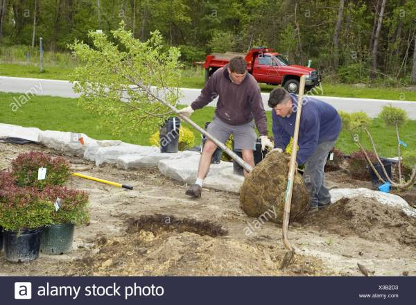 landscaping workers plant trees