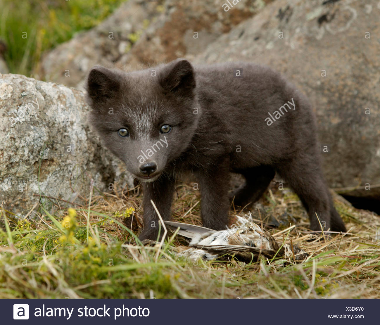 dead arctic fox stock