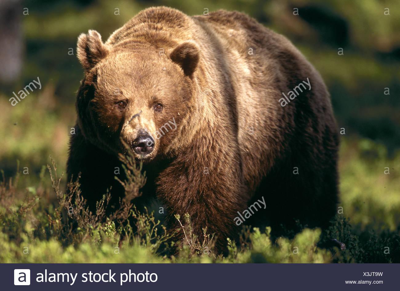 braunbaer ursus arctos brown