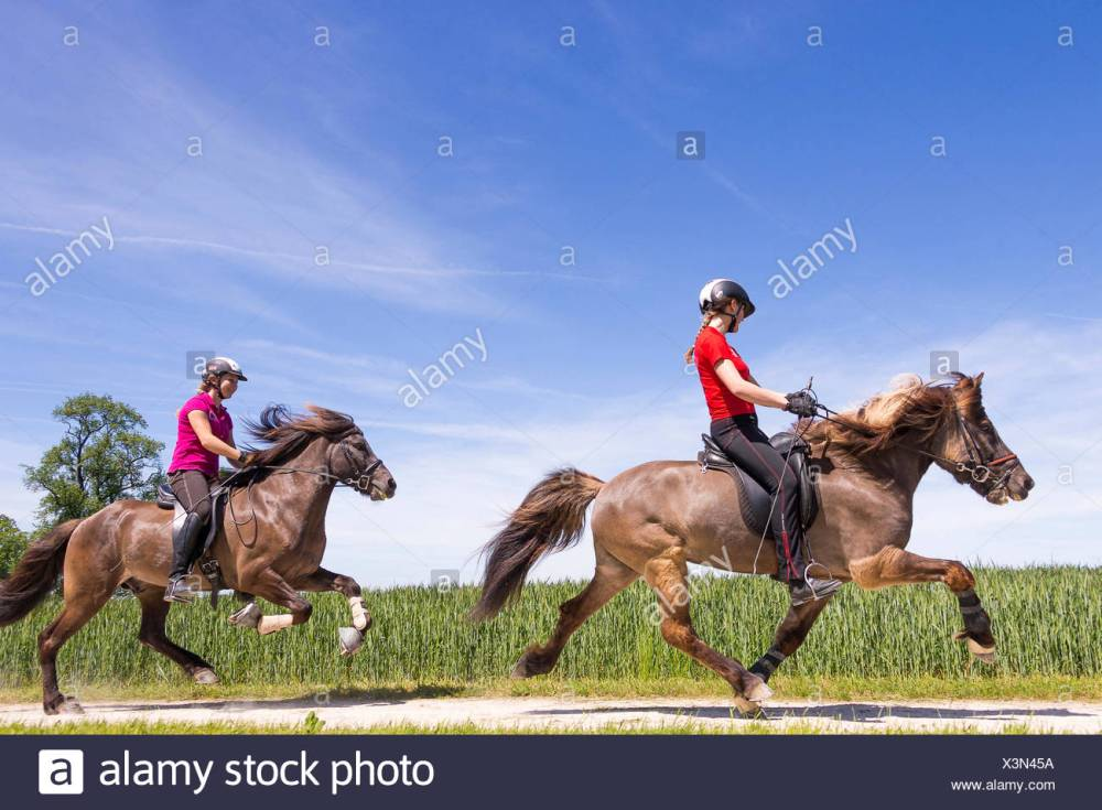 medium resolution of icelandic horse two gaits one hores being ridden at the flying pace the