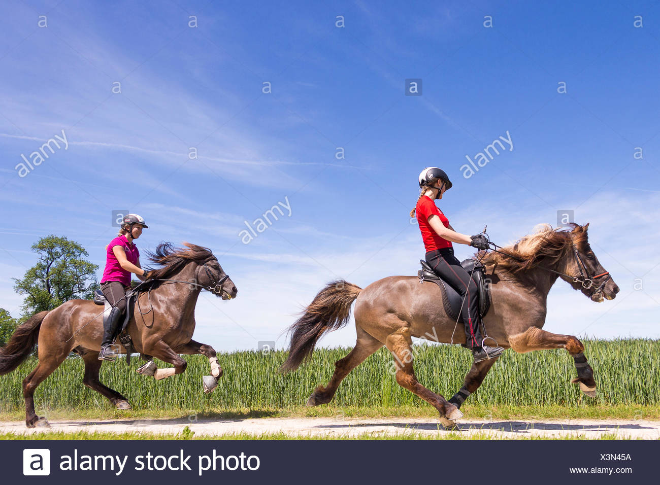 hight resolution of icelandic horse two gaits one hores being ridden at the flying pace the