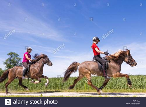 small resolution of icelandic horse two gaits one hores being ridden at the flying pace the