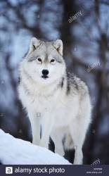 wolf arctic canada polar snow canis arctos lupus alamy
