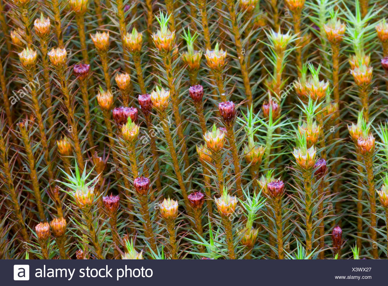 hight resolution of hair cap moss polytrichum commune perichaetia germany schleswig holstein