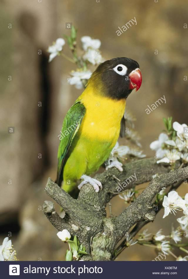 Branch Schwarzkopfchen Agapornis Personata Vigilance Wildlife Animal Bird Parrot Bird Inseparable