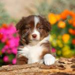 Australian Shepherd Puppy Stock Photo Alamy