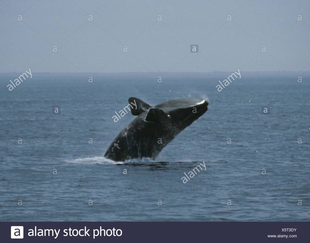 medium resolution of north atlantic right whale eubalaena glacialis stock image