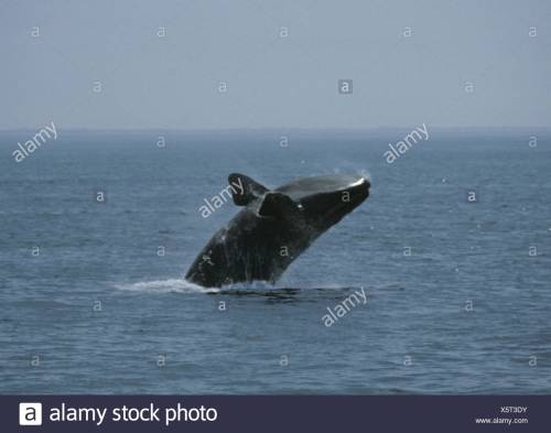 small resolution of north atlantic right whale eubalaena glacialis stock image