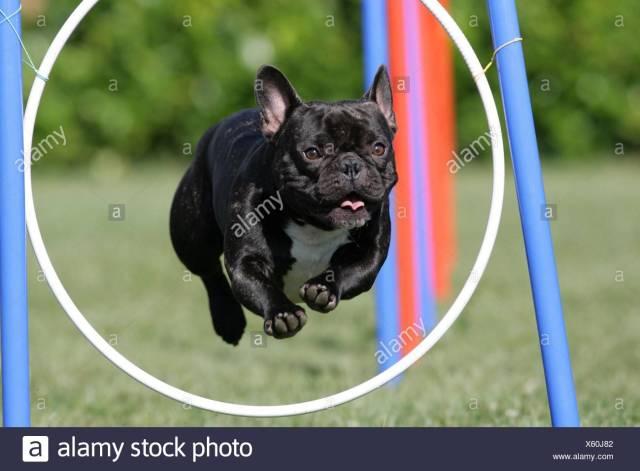 french bulldog at agility stock photo: 279068162 - alamy