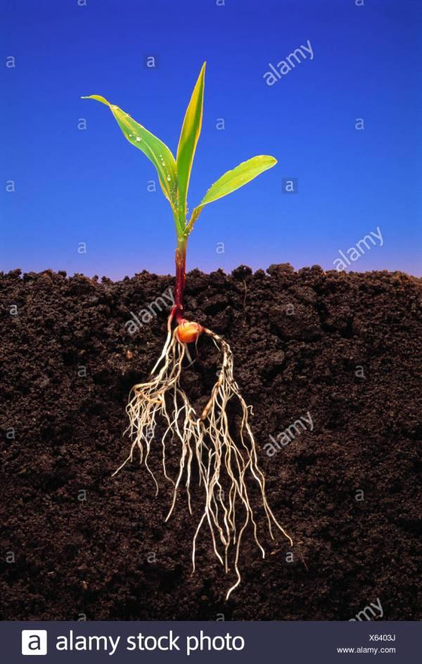 Corn Plant Roots