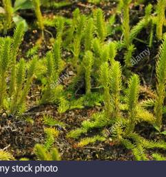 bog clubmoss marsh clubmoss lycopodiella inundata germany stock image [ 1300 x 956 Pixel ]