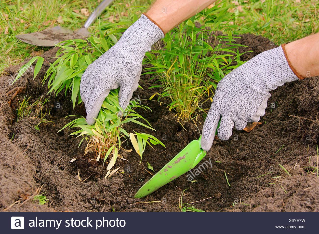 Bambus Richtig Pflanzen Kletterrosen Richtig Schneiden Quelle