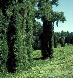 plant kudzu stock image [ 875 x 1390 Pixel ]