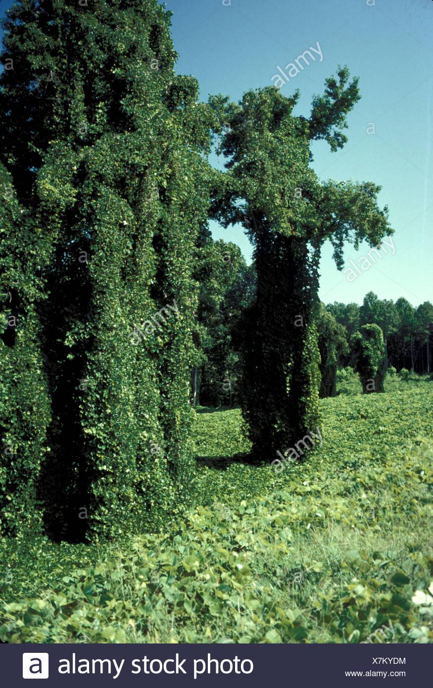 medium resolution of plant kudzu stock image