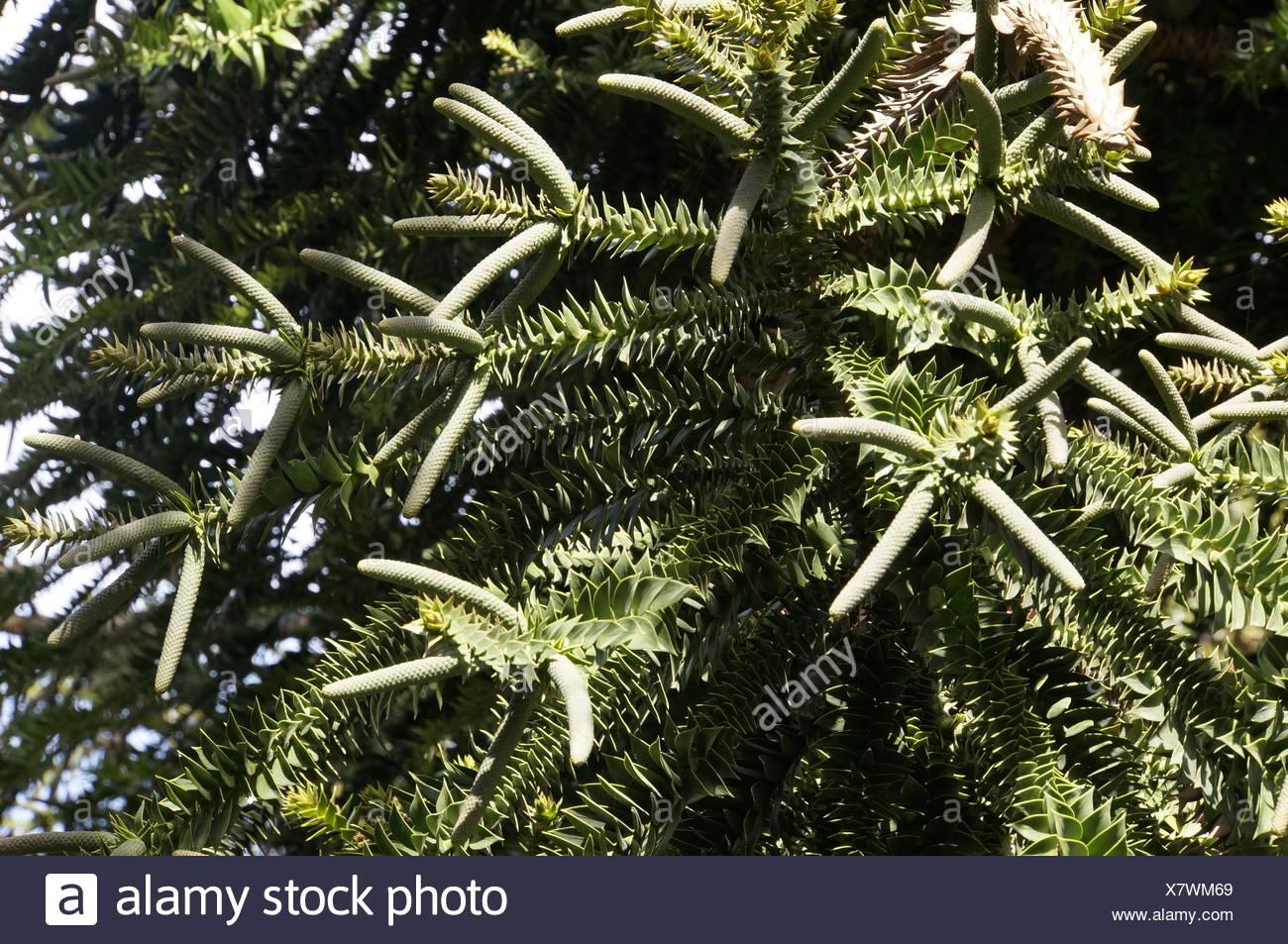 7pines teneriffa pioneer avh 280bt softwareupdate araucaria bidwillii stock photos and