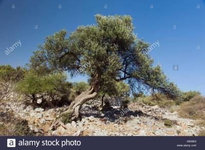 Olive Tree Sea Stock Photos & Olive Tree Sea Stock Images ...