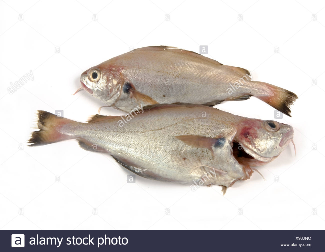 whiting fish stock photos