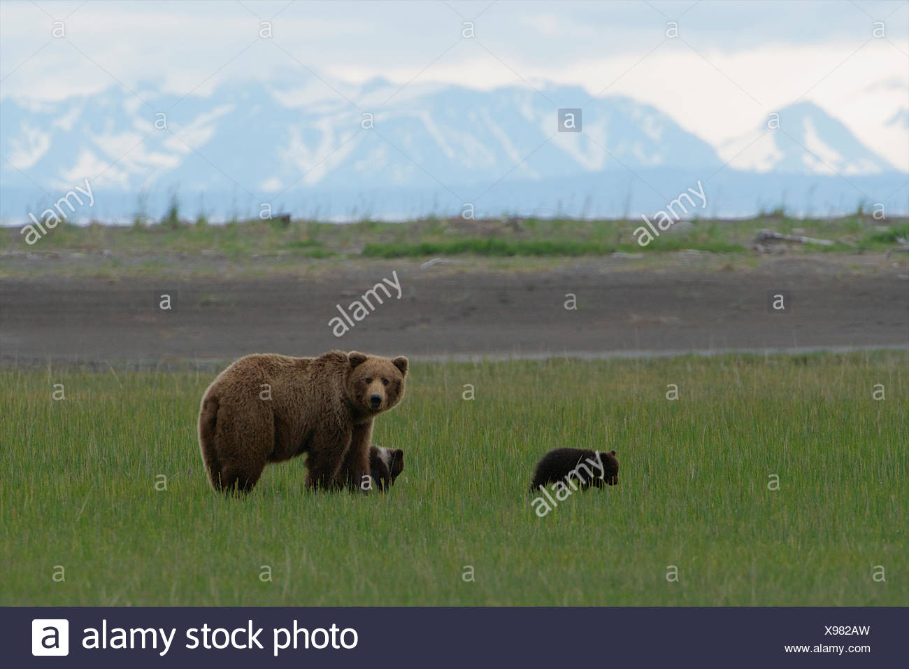 a grizzly bear family