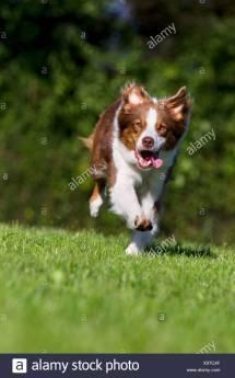 Domestic Dog Stock & - Alamy