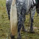 Percheron Horse At Work A Draft Horse From France Stock Photo Alamy